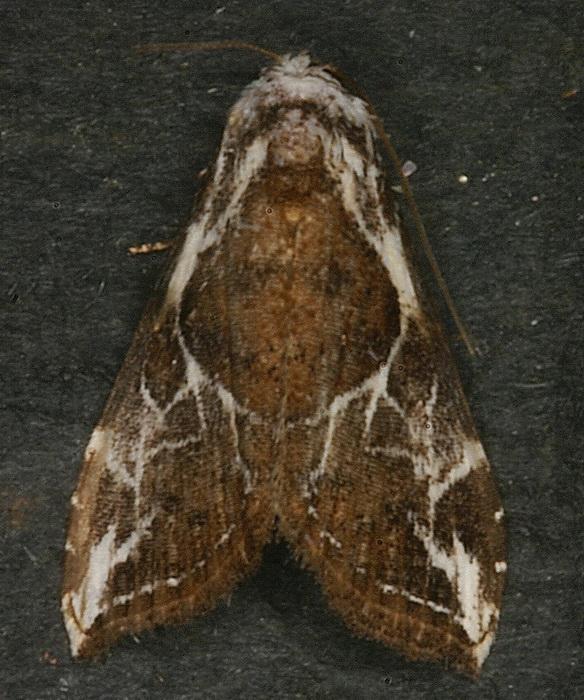 Hexafrenum sp