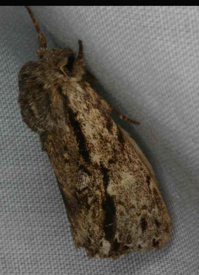 Hyperaeschra pallida