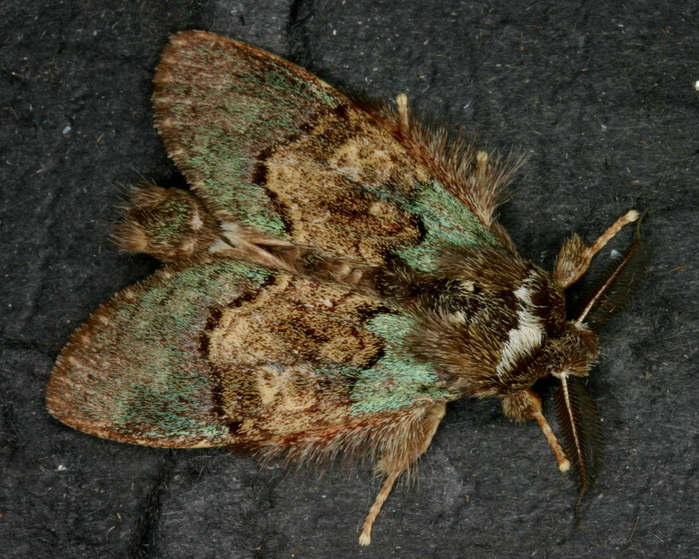 Netria multispinae