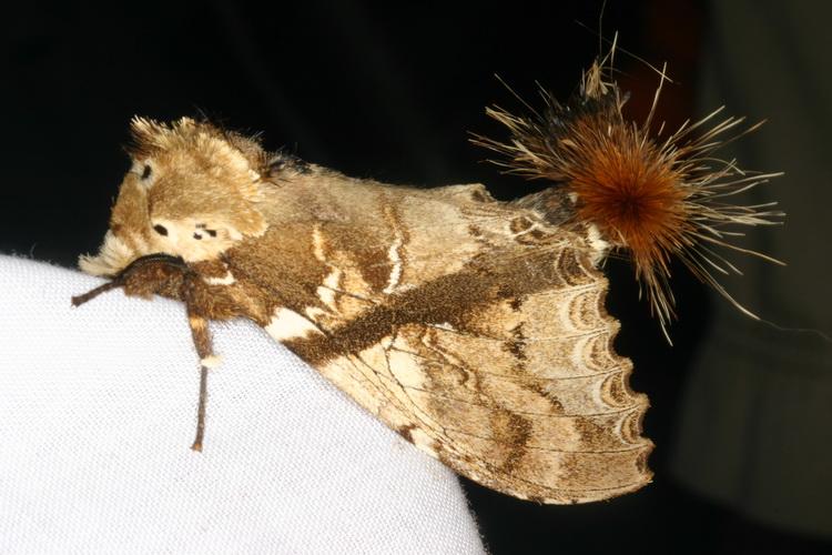 Dudusa synopia-1