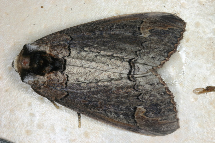 Phalera sp -4