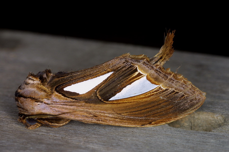 Tarsolepis rufobrunnea 1
