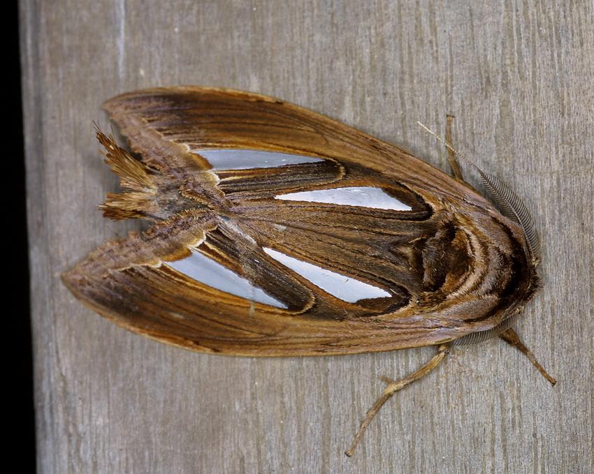 Tarsolepis rufobrunnea 2