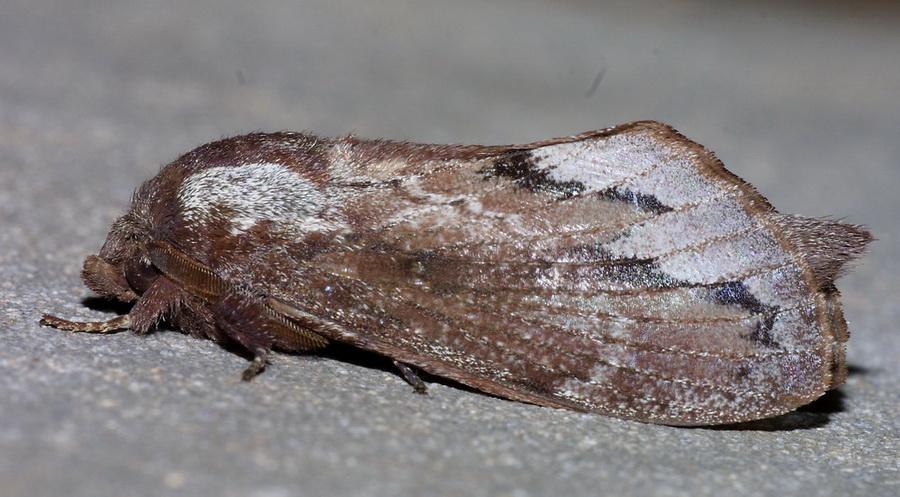 unidentified Notodontidae-2