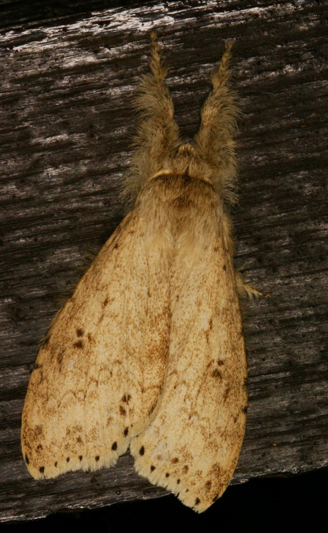 unidentified Notodontidae-5