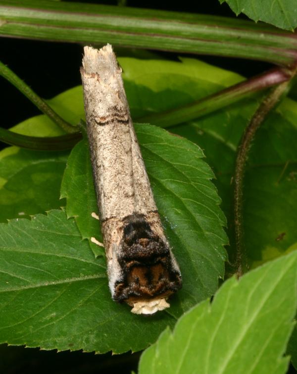 unidentified-notodontidae-6