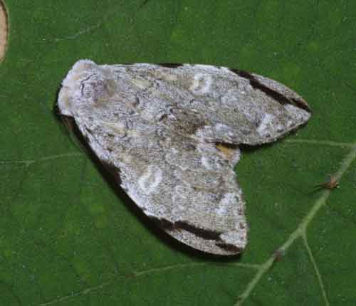 Stauroplitis accomodus