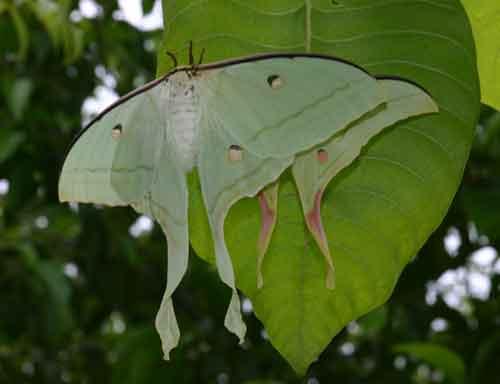 Actias selene (female and male)