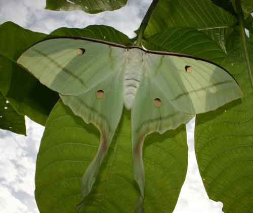 Actias selene female