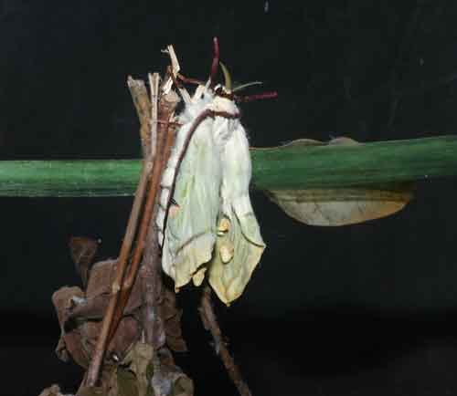 Actias selene just hatched