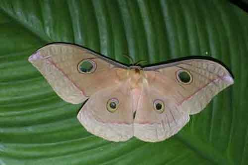 Antheraea frithi female