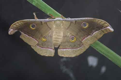 Antheraea frithi pedunculata variant