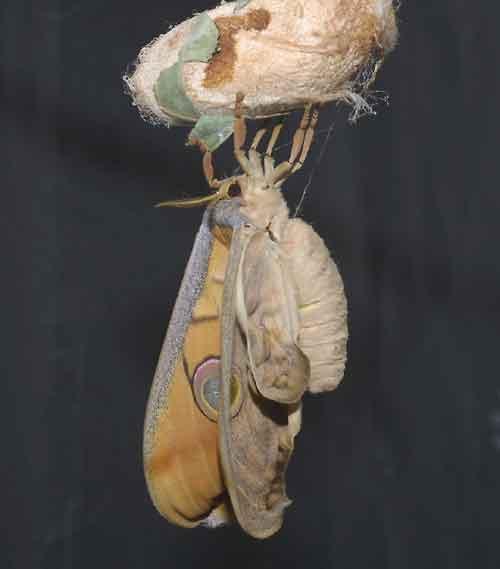 Antheraea frithi pedunculata 1