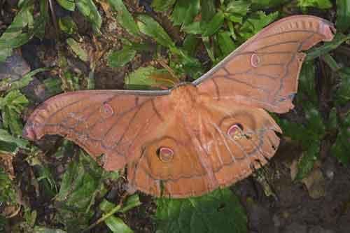 Antheraea h. helferi