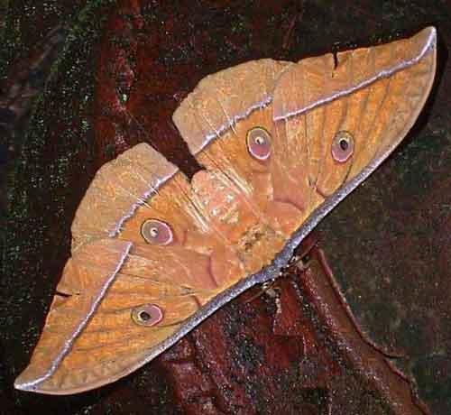 Antheraea species