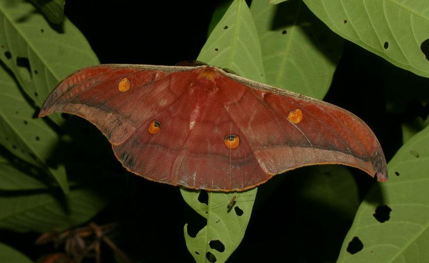 Saturnidae Antheraea assamensis