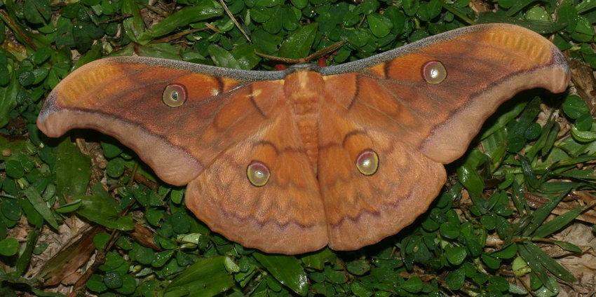 Saturnidae IAntheraea frithi