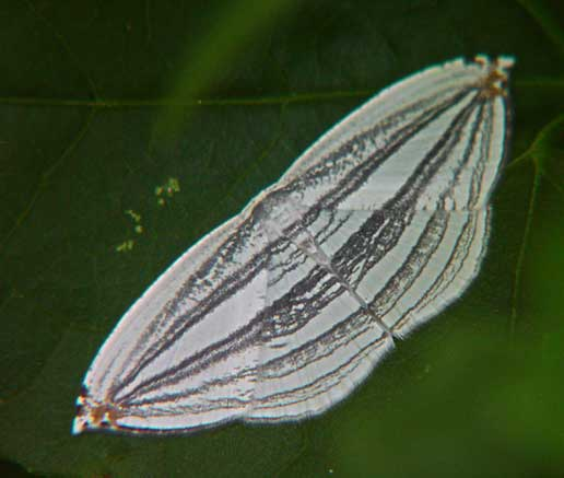 Acropteris iphiata