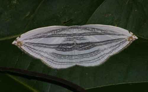 Acropteris iphiata 1