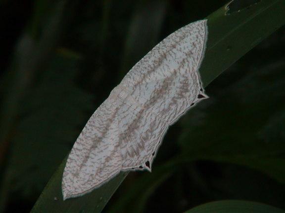 Acropteris species