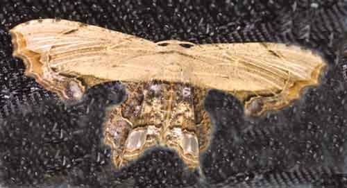 Dysaethria erasaria