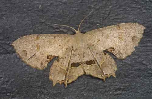Dysaethria sp