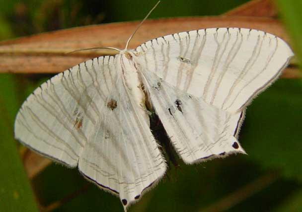 Micronia astheniata