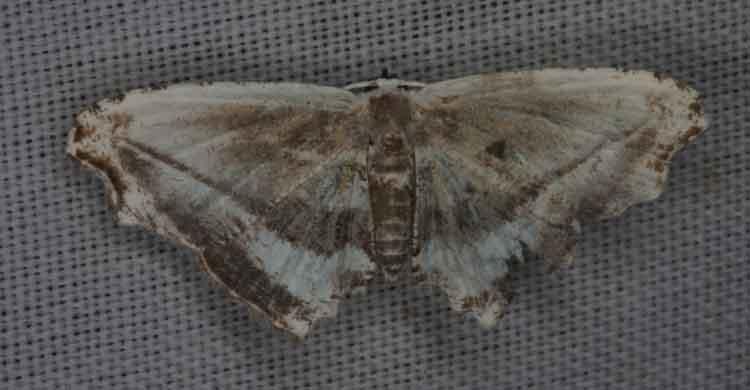 Rhombophylla sp
