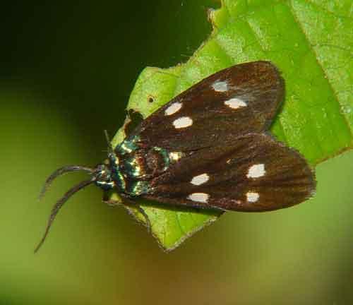 Clelea species