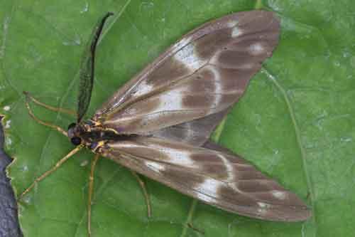 Corma maculata laranda m