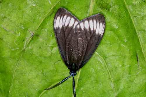 Cyclosia panthona m