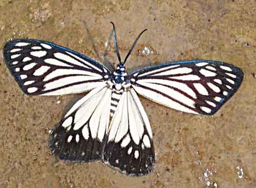 Cyclosia papilionaris f