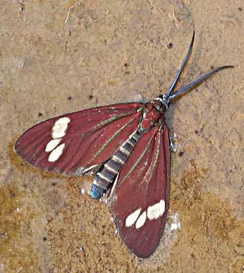 Cyclosia papilionaris m