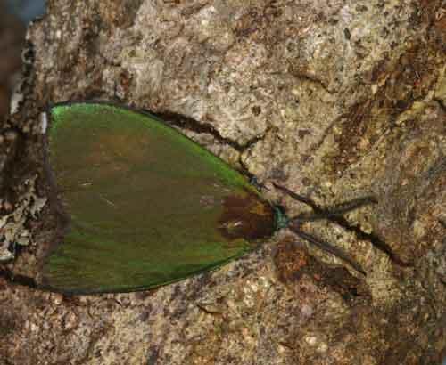 Eumorphiopais sp