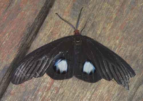 Gynautocera papilionaris