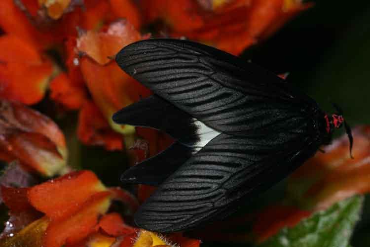 Histia flabellicornis cometaris