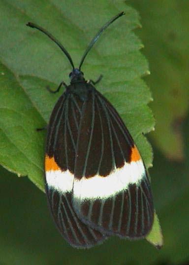 Laurion albifascia