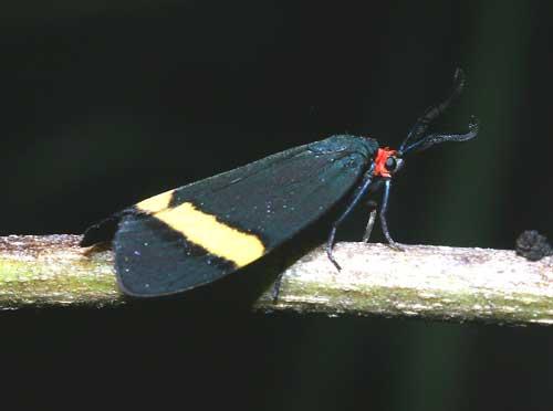 Pidorus gemina