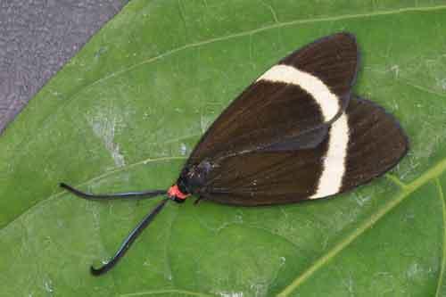 Pidorus glaucopis