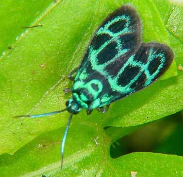 Procridinae, Clelea sp