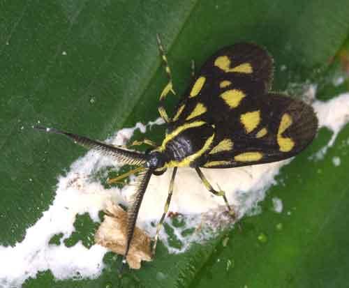 Procrodinae, Artona sp 1