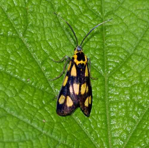 Procrodinae, Artona sp 2a