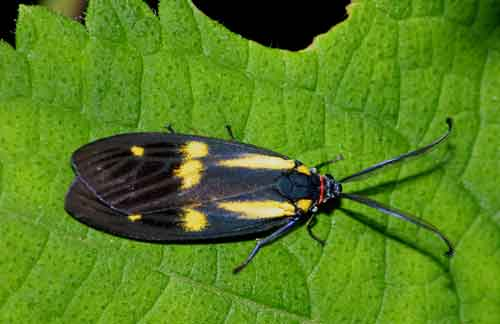 Soritia pulchella complex possibly new species.