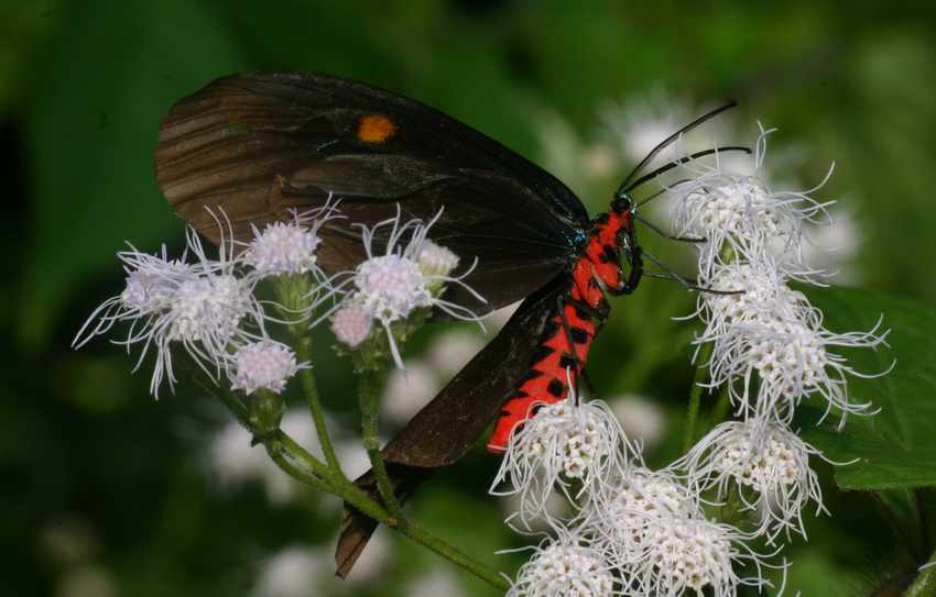 unidentified Zygaenidae-15