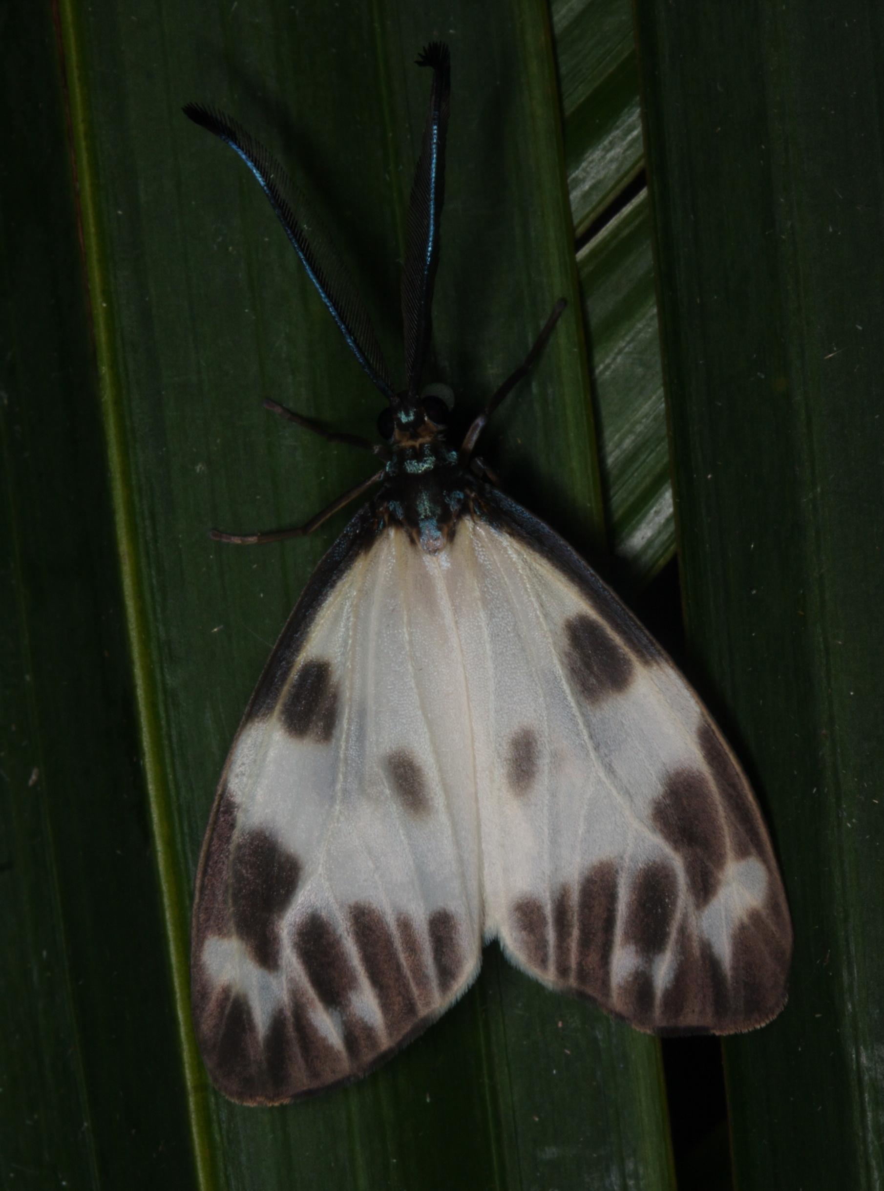 unidentified Zygaenidae-16