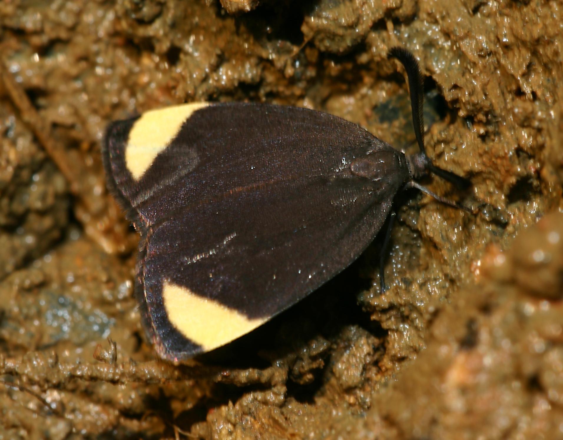 unidentified Zygaenidae
