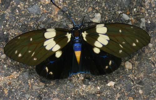 Chalcosia sp