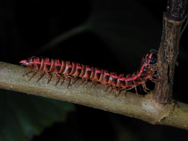 Diplopoda (millipede) probably Polydesmida