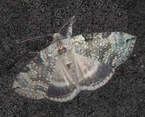 Balma albicola