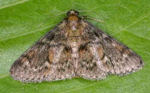 Epipaschiinae